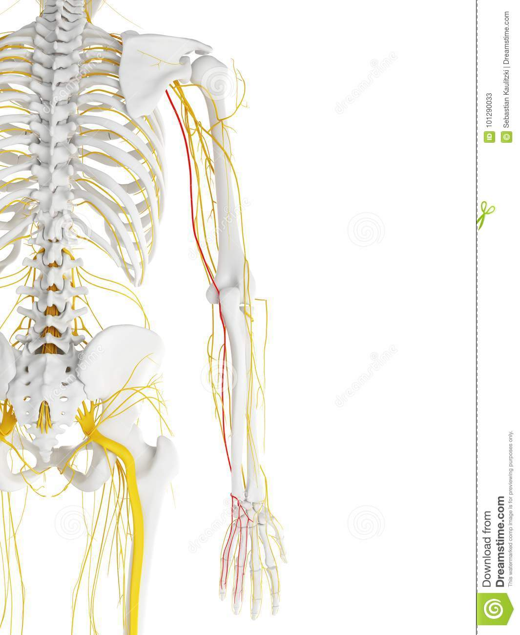 ulnar nerve diagram lily flower parts the stock illustration of anatomical 3d rendered medically accurate