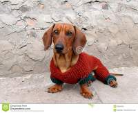Dachshund In Clothes Royalty Free Stock Photo