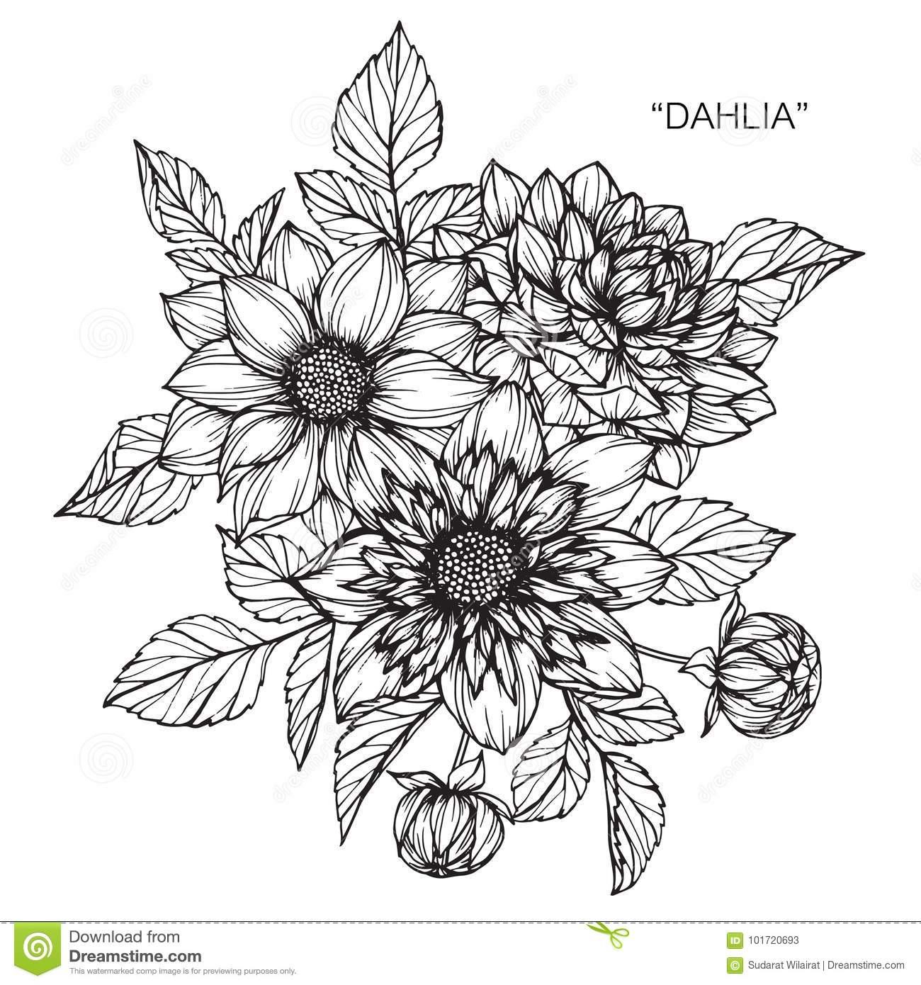 dahlia flowers drawing and