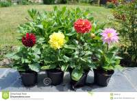 Dahlia Flowers In The Garden Stock Image - Image of ready ...