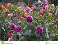 Dahlia Flower Gardens Pictures to Pin on Pinterest - PinsDaddy
