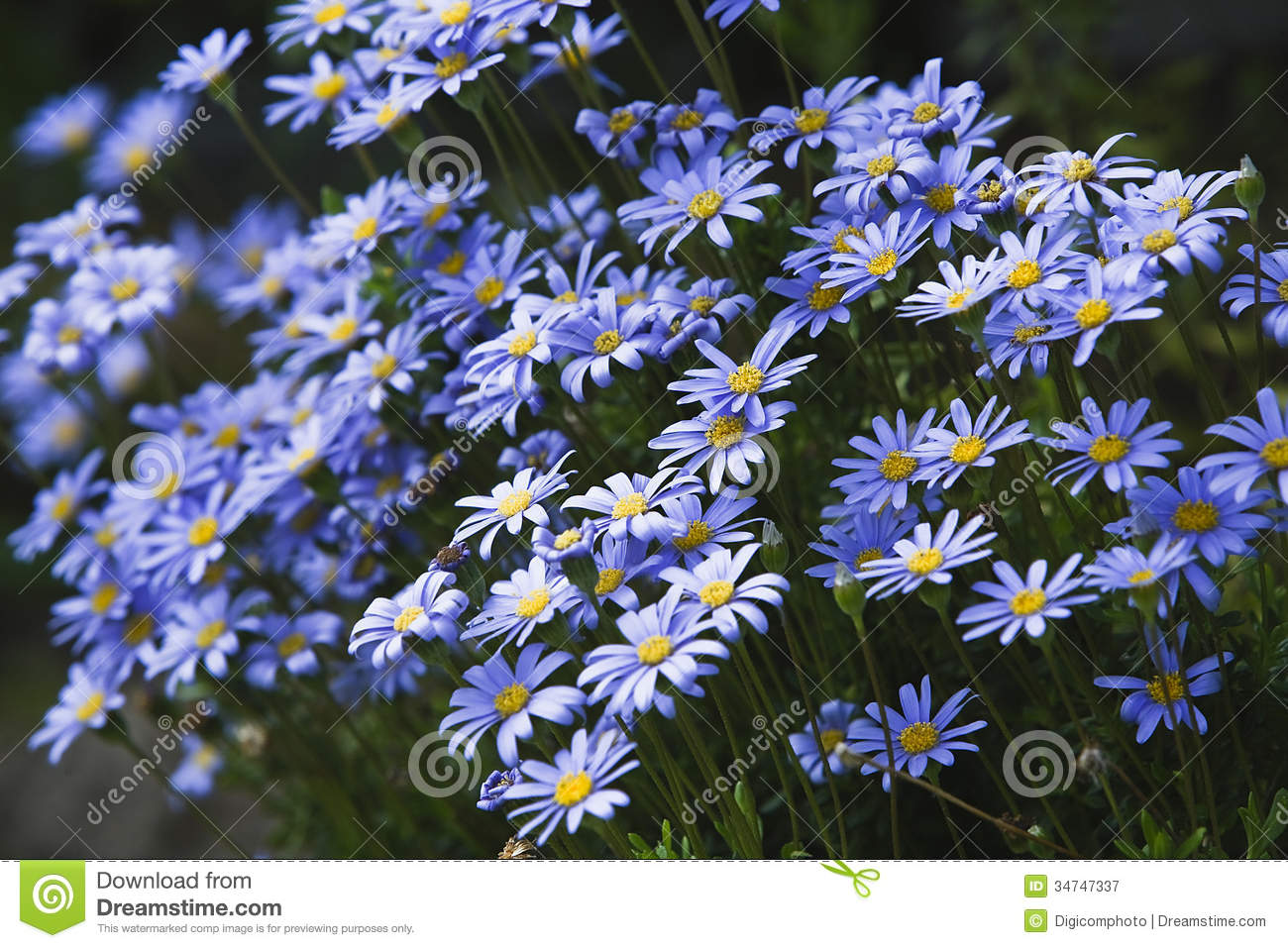 Daisies Of Blue Color And Violet Stock Image  Image of