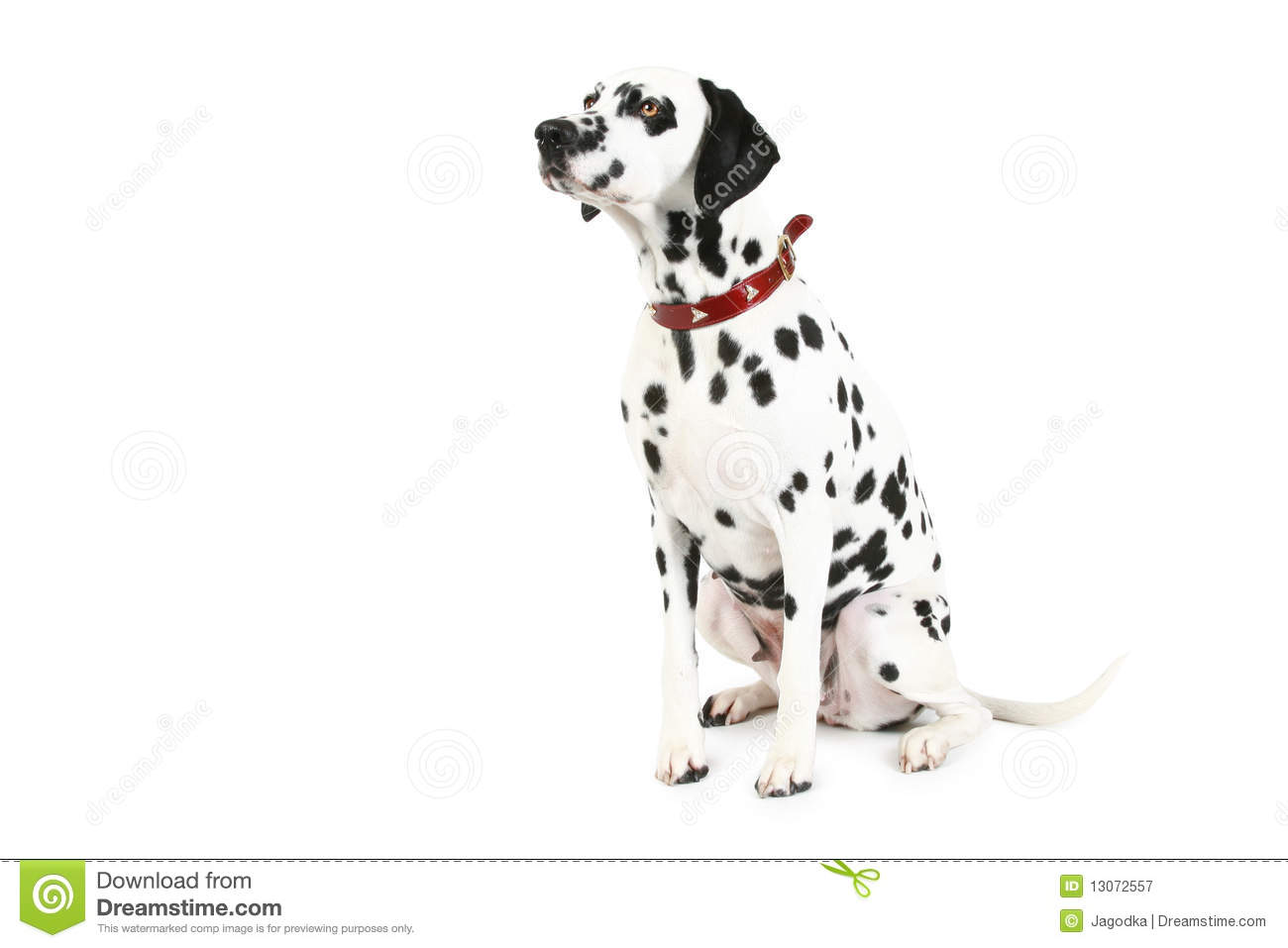 Dalmatian Puppy Isolated Stock Image Image Of Domestic
