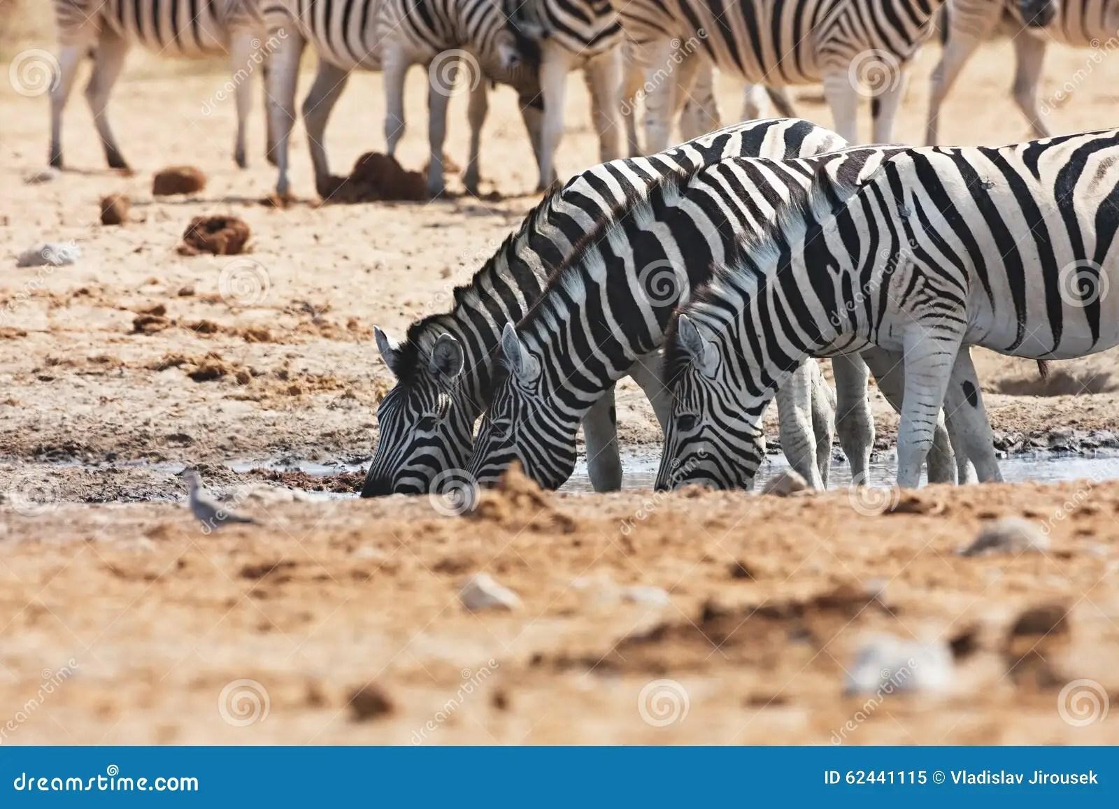Damara Zebras And Giraffes At The Waterhole Etosha