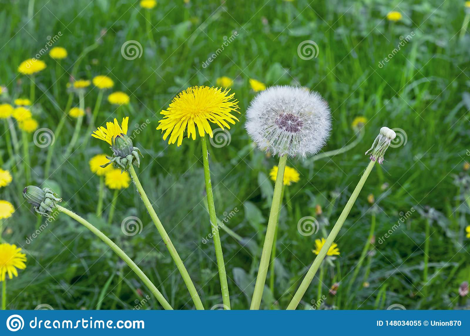 Dandelion Flower The Life Cycle Of A Dandelion Stages Of