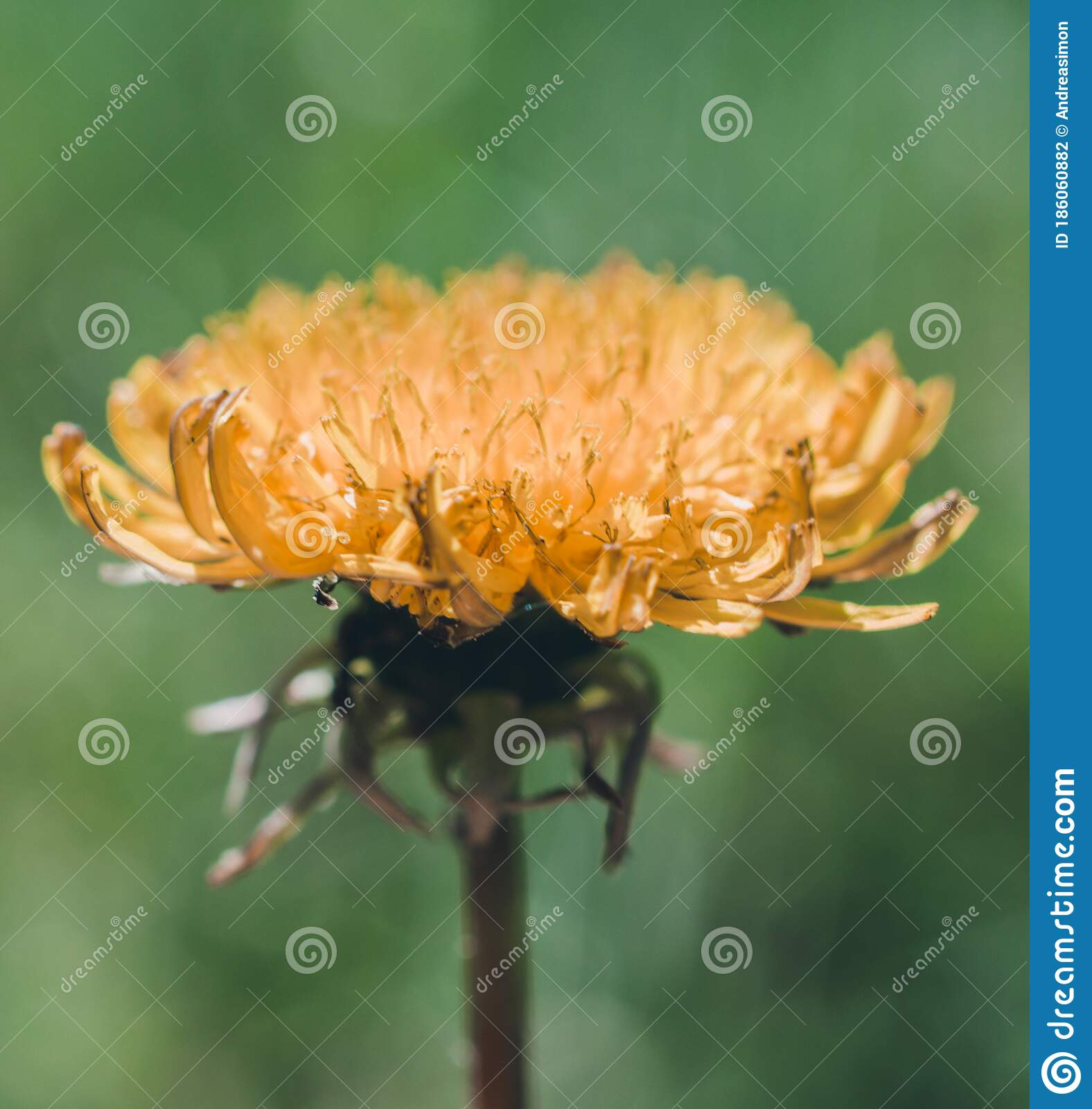 Dandelion Life Cycle Stock Photo Image Of Taraxacum
