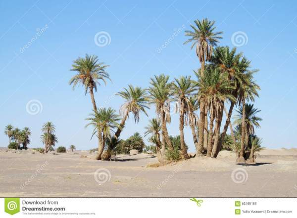 date palm trees in africa oasis