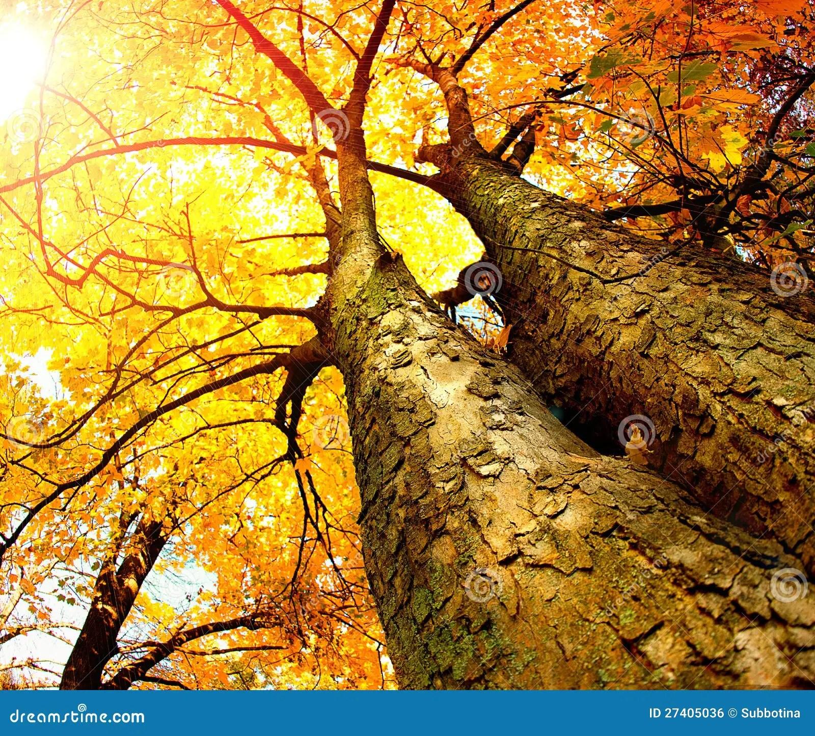 Fall Birch Tree Wallpaper De Bomen Van De Herfst Stock Foto Afbeelding Bestaande