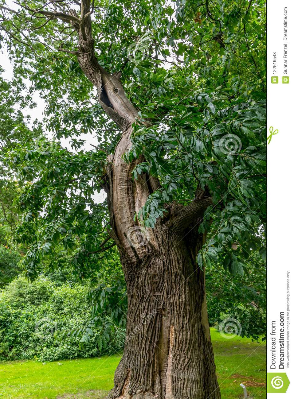 deciduous tree with thick