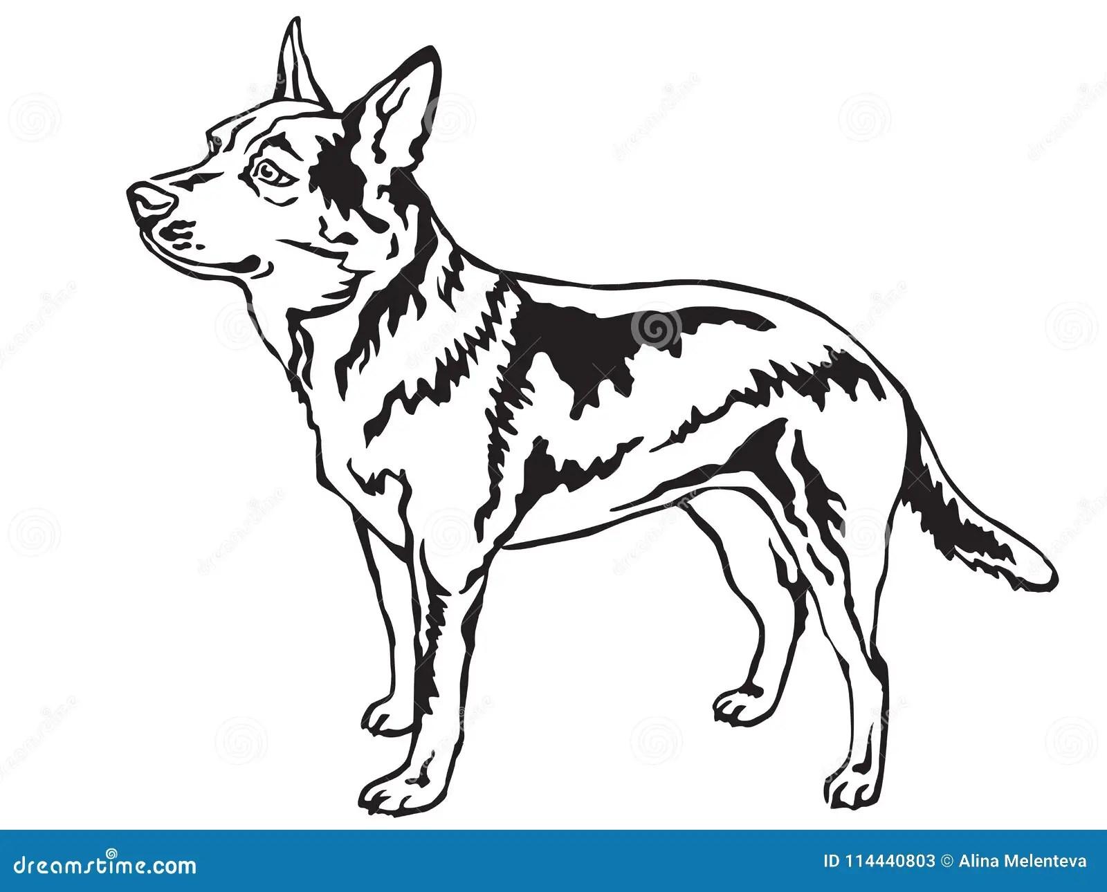 Australian Cattle Dog Stock Illustrations 34 Australian