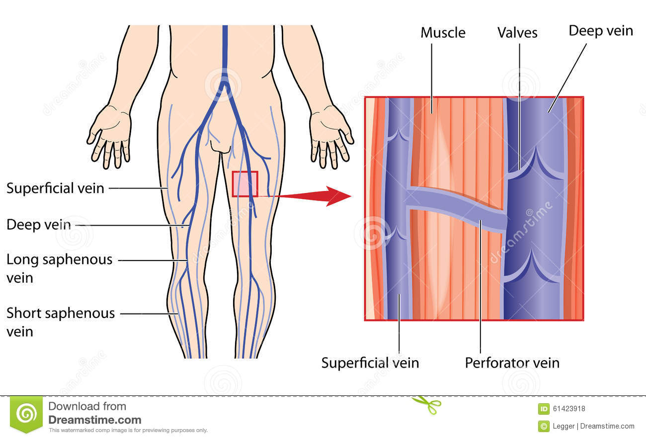 Deep And Superficial Veins Of The Leg Stock Vector