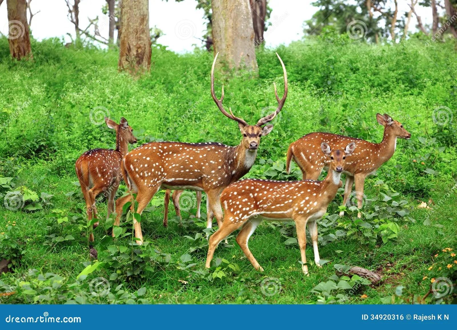 Deer Flock In Natural Habitat Stock Photo