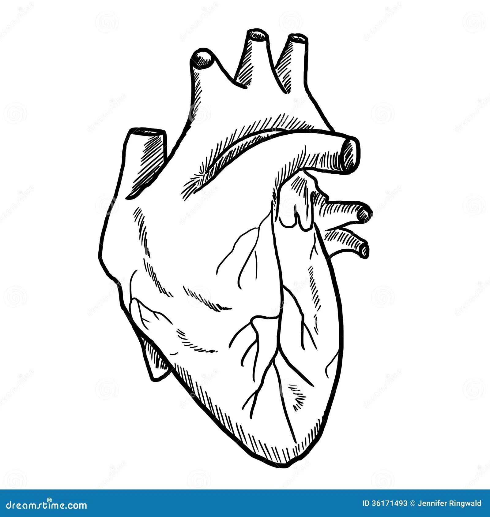 Desenho Do Coracao Humano Fotos De Stock