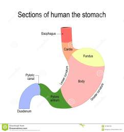 sections of the stomach parts and regions duodenum esophagus sphincter and body stomach human anatomy flat illustration for medical science  [ 1300 x 1390 Pixel ]
