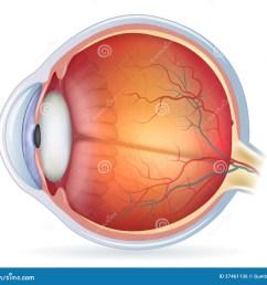 detailed human eye anatomical illustration [ 1300 x 1217 Pixel ]