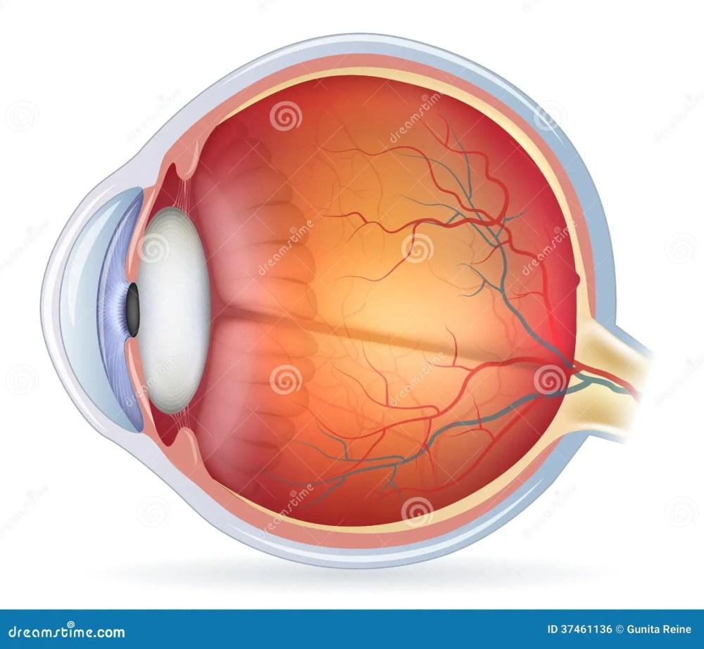 medium resolution of detailed human eye anatomical illustration stock vector rh dreamstime com eye anatomy diagram human eye diagram unlabeled