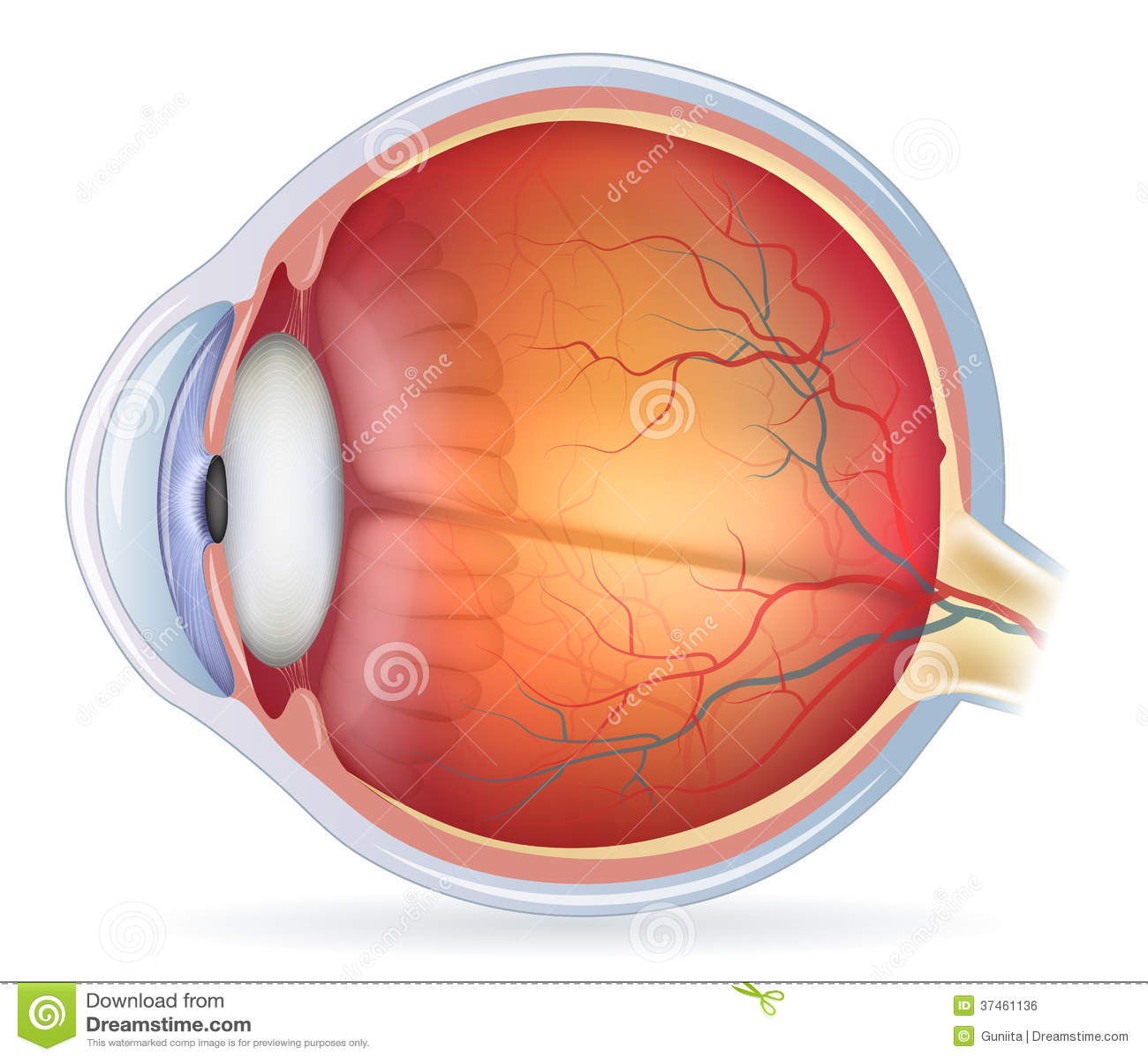 hight resolution of detailed human eye anatomical illustration stock vector rh dreamstime com eye anatomy diagram human eye diagram unlabeled