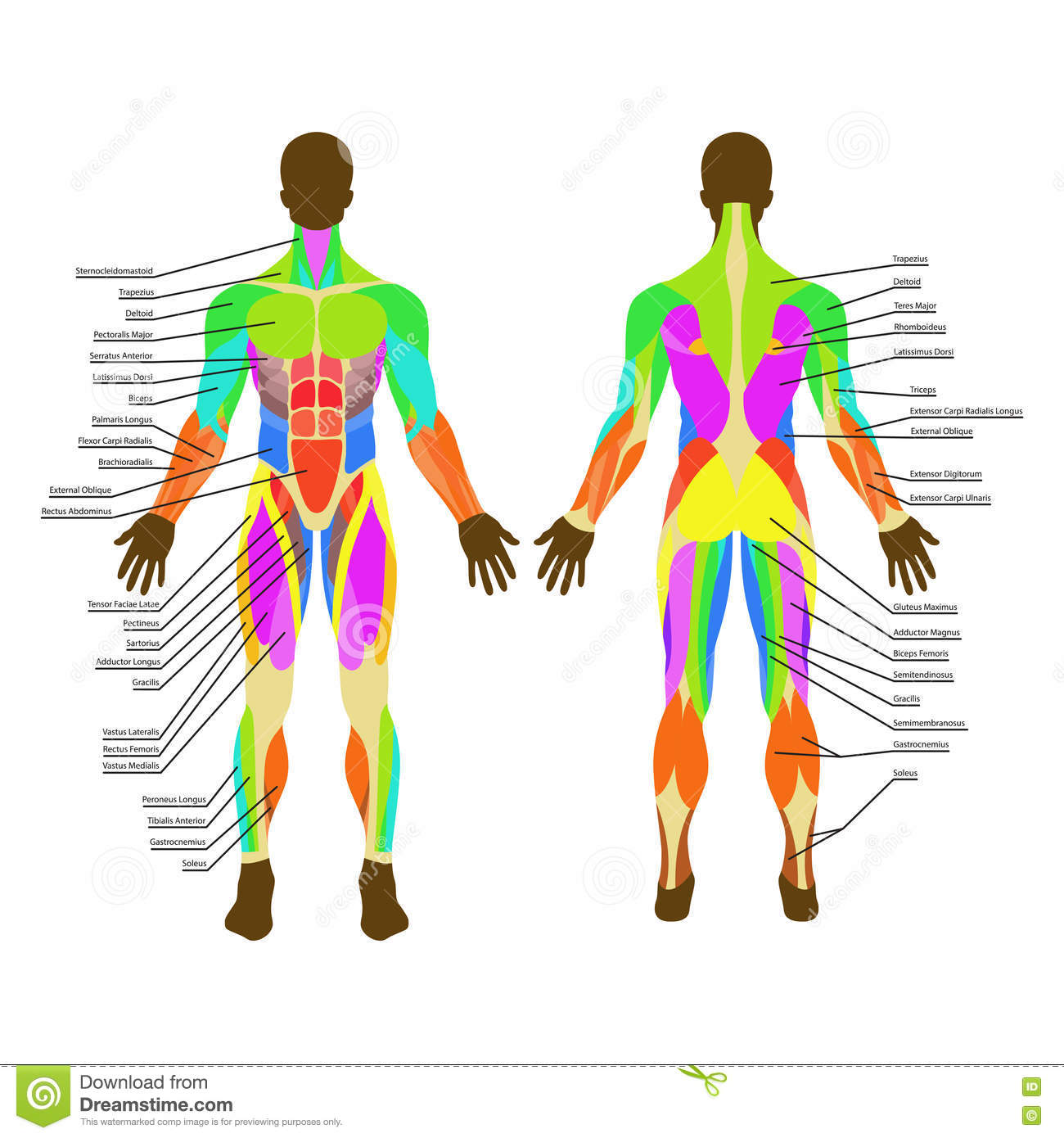 human muscles diagram labeled front and back scion xb stereo wiring detailed illustration of exercise