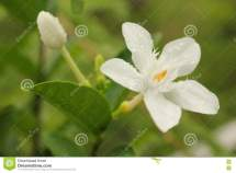 Dewy Sampaguita Flower And Bud Stock - Of