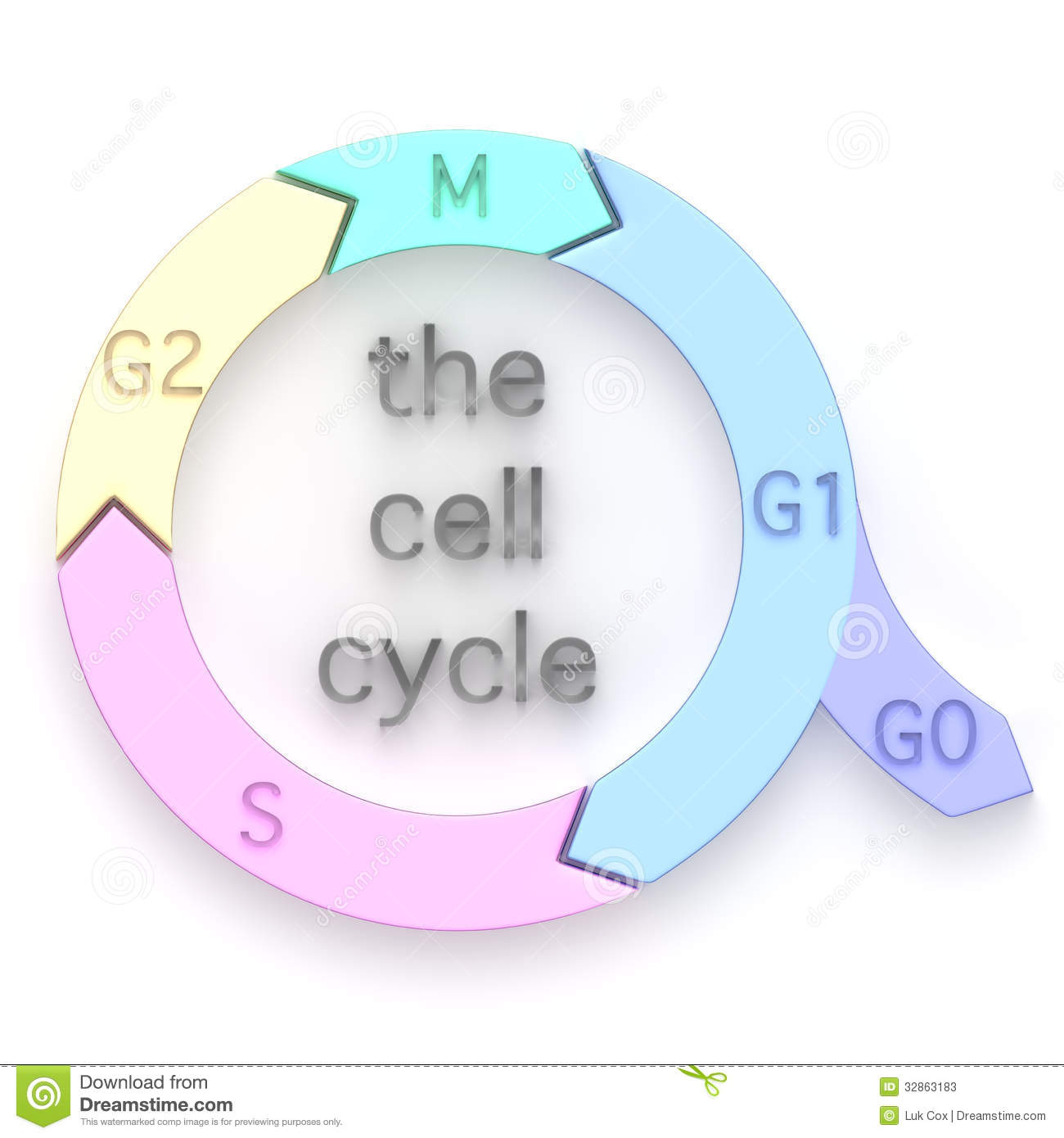 Diagram Of The Cell Cycle Stock Illustration Image Of