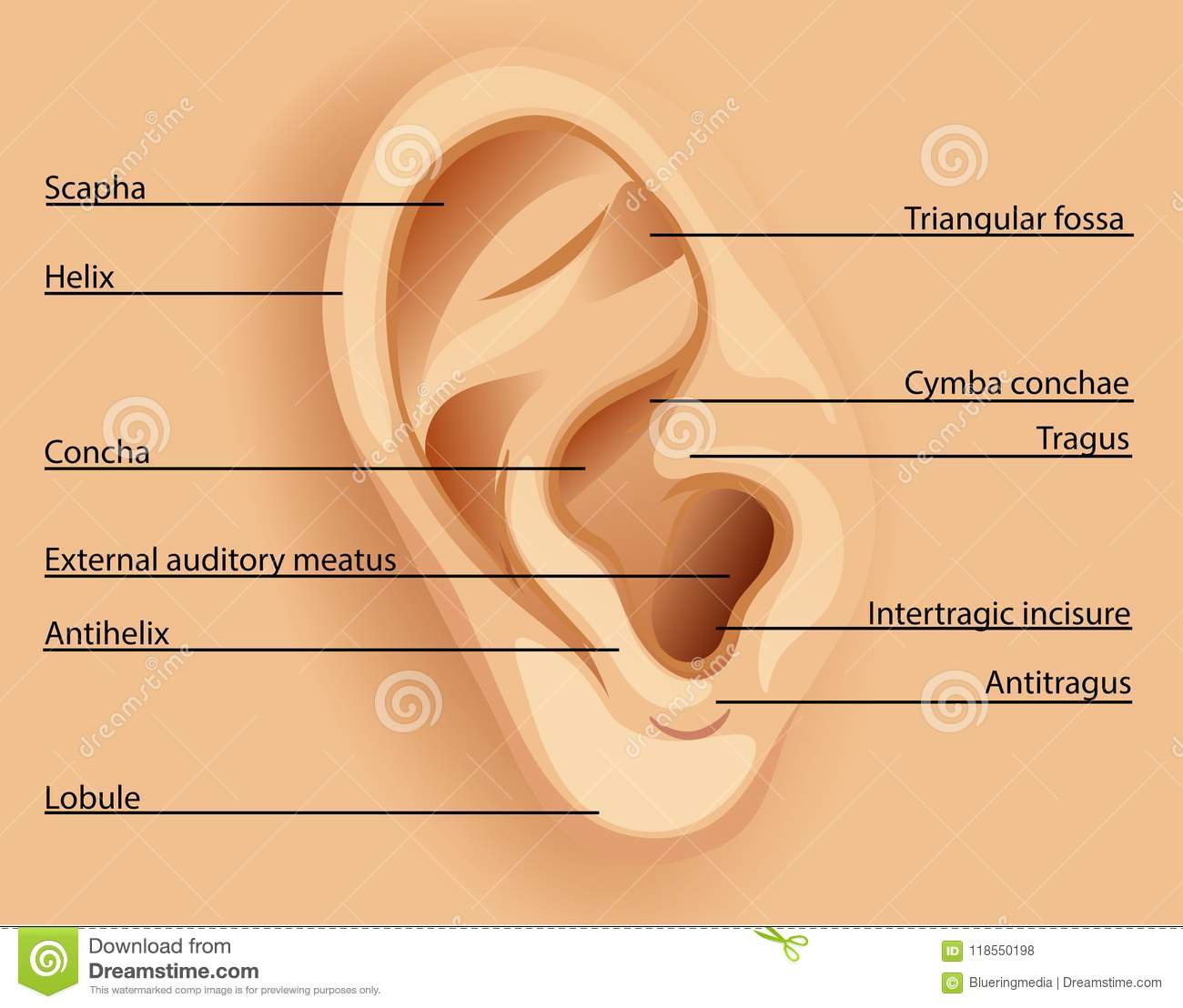 hight resolution of diagram of the ear
