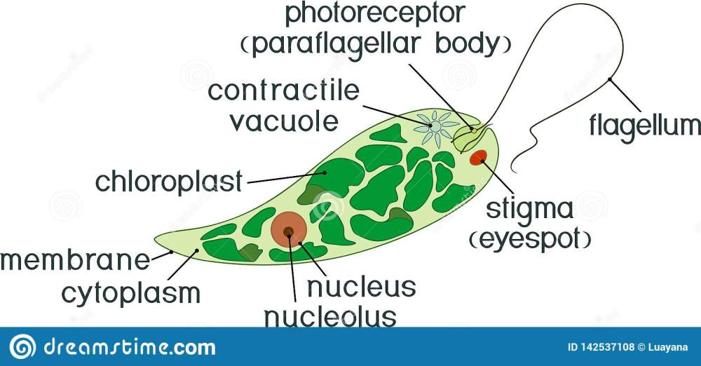 medium resolution of diagram of euglena structure of euglena viridis with different organelles