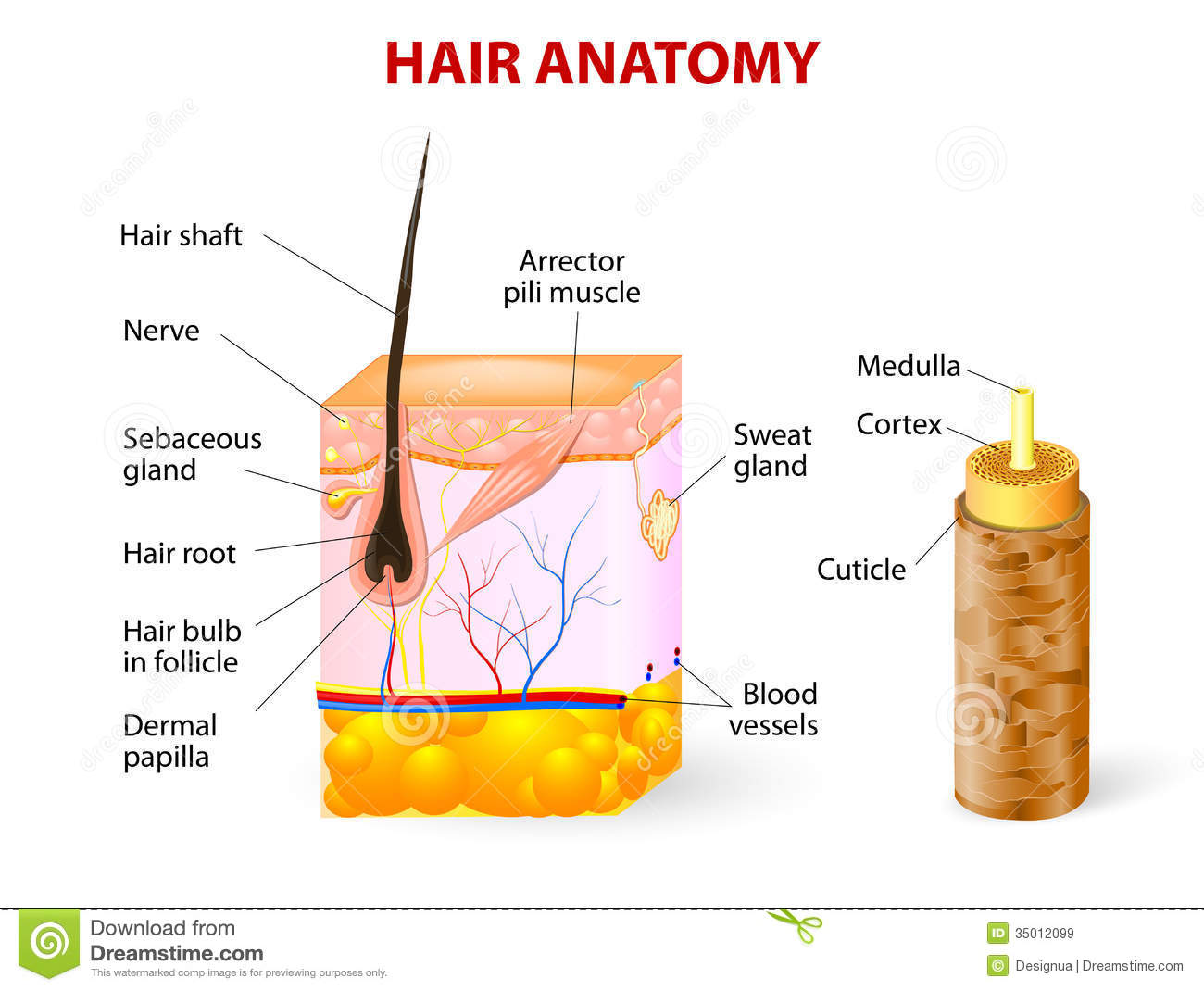 hight resolution of vector diagram the hair shaft grows from the hair follicle consisting of transformed skin tissue the epidermal cells transform at the command of the