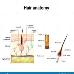 Skin Cross Section Diagram Vt Calais Radio Wiring Of A Hair Follicle In