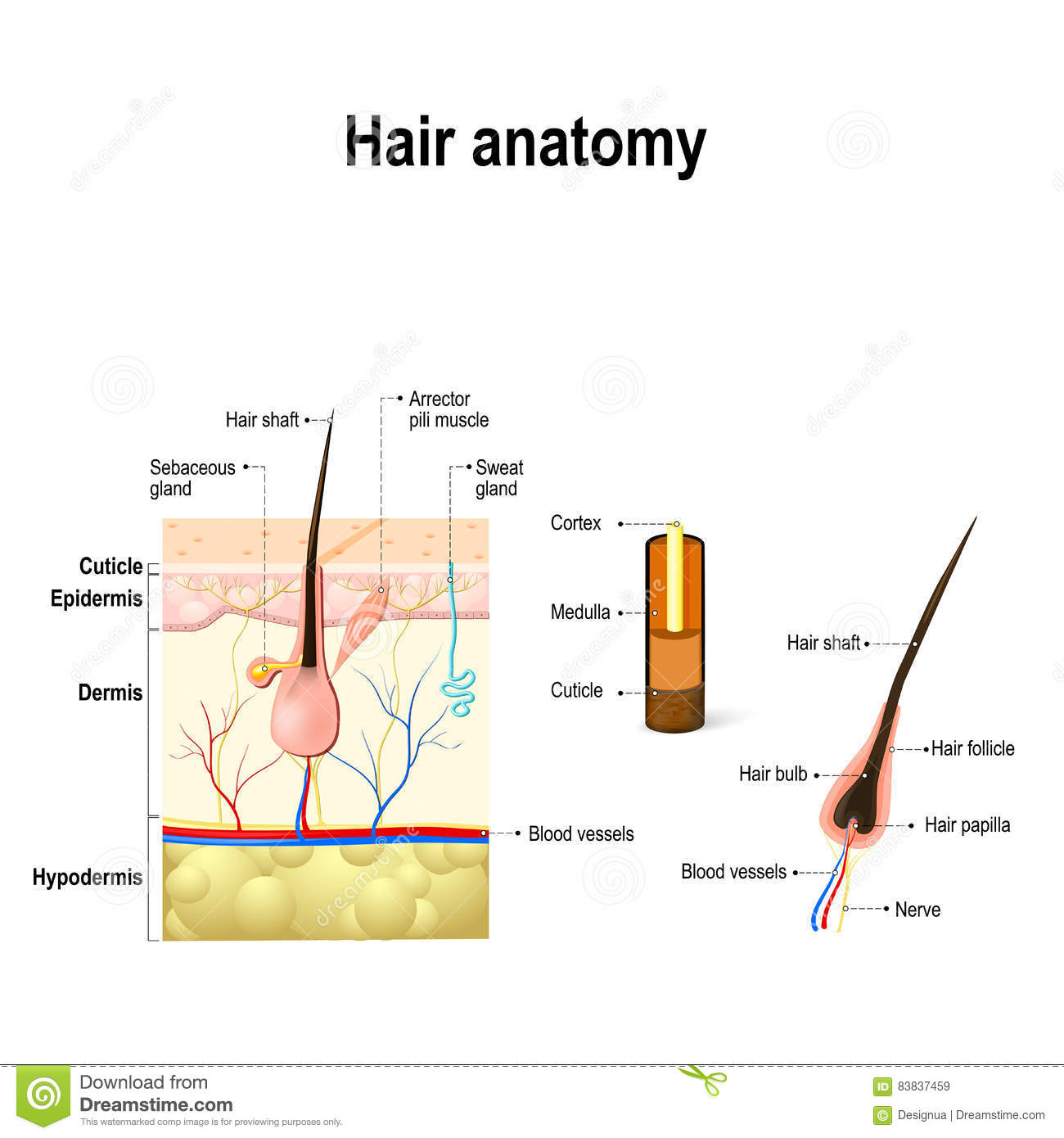 hight resolution of diagram of a hair follicle in a cross section of skin layers