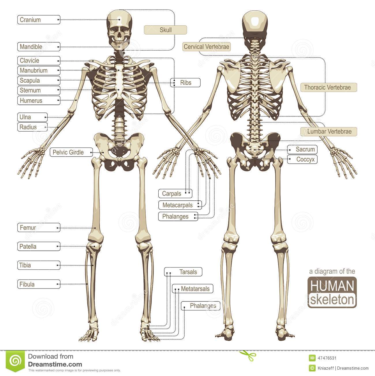 blank skeletal diagram wiring kia carnival front great installation of a the human skeleton stock vector illustration blood rh dreamstime com hand