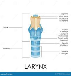 diagram of larynx [ 1300 x 1390 Pixel ]