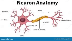 Diagram of Neuron Anatomy stock vector Illustration of