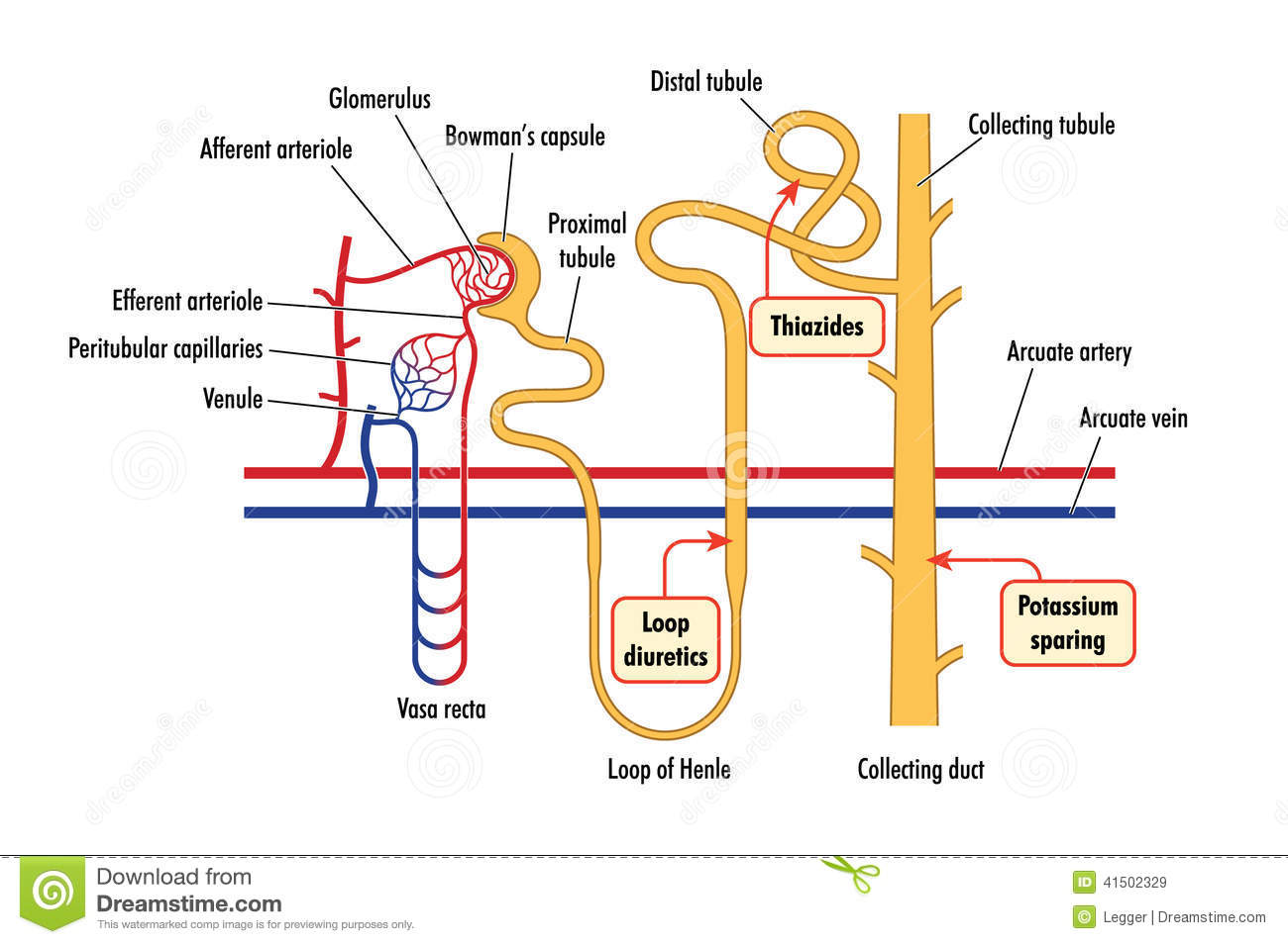 hight resolution of diagram of renal drug action