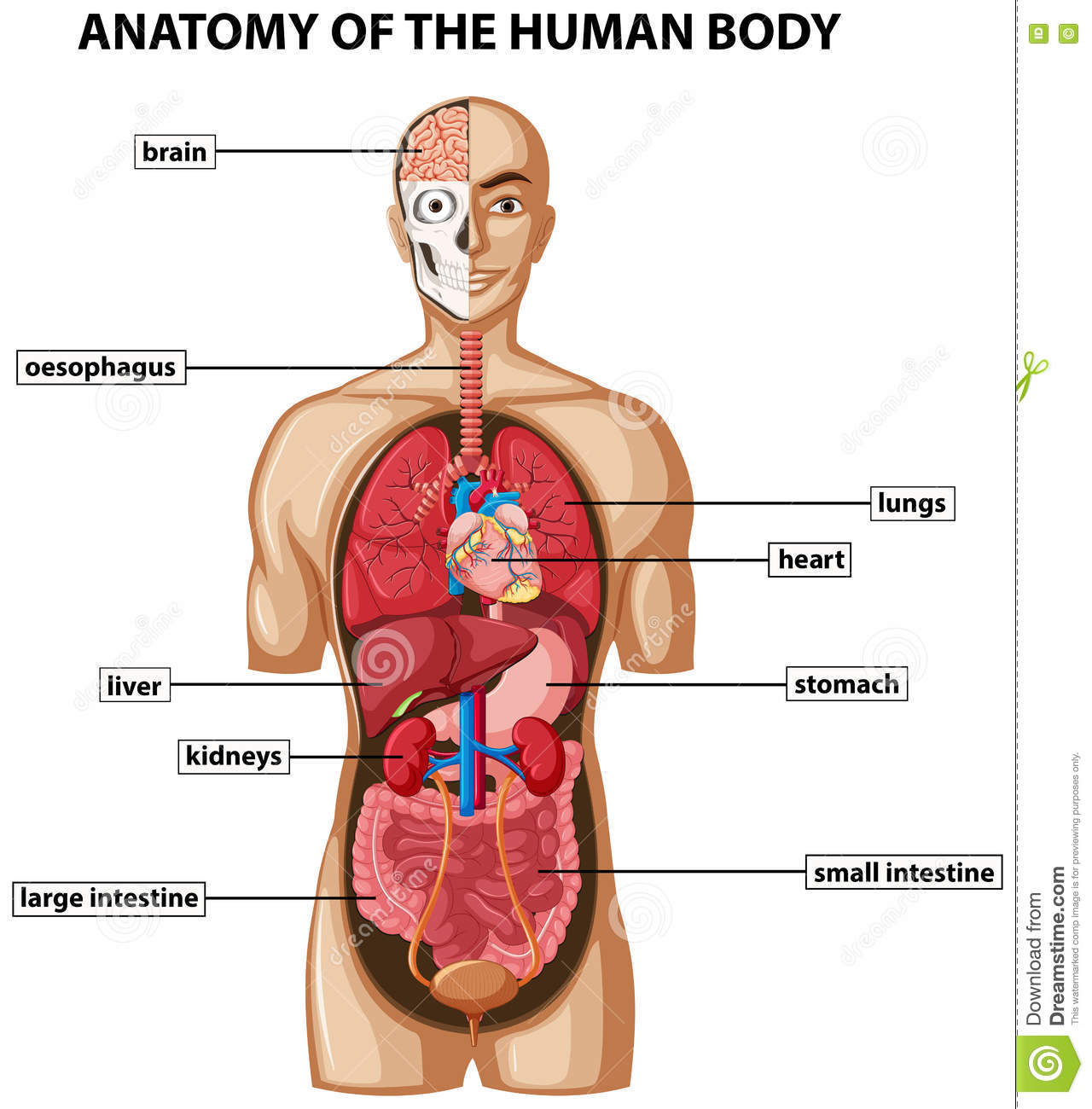 hight resolution of diagram showing anatomy of human body with names stock vector diagram of boday