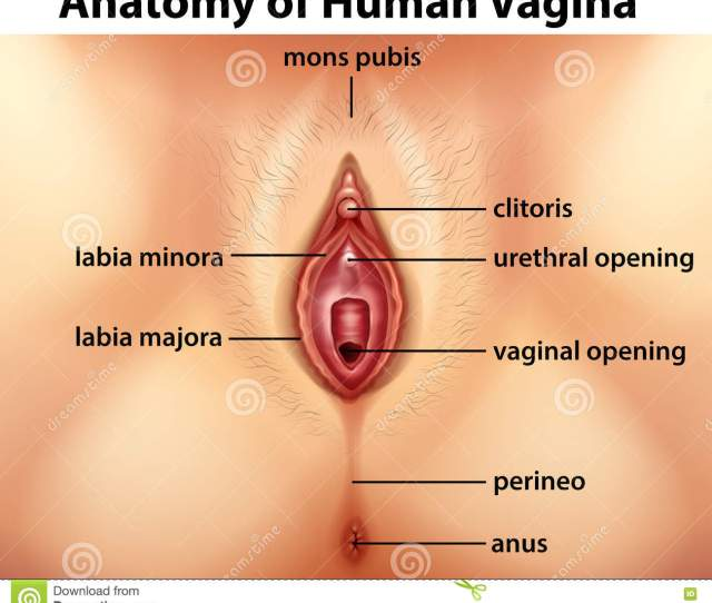 Diagram Showing Anatomy Of Human Vagina