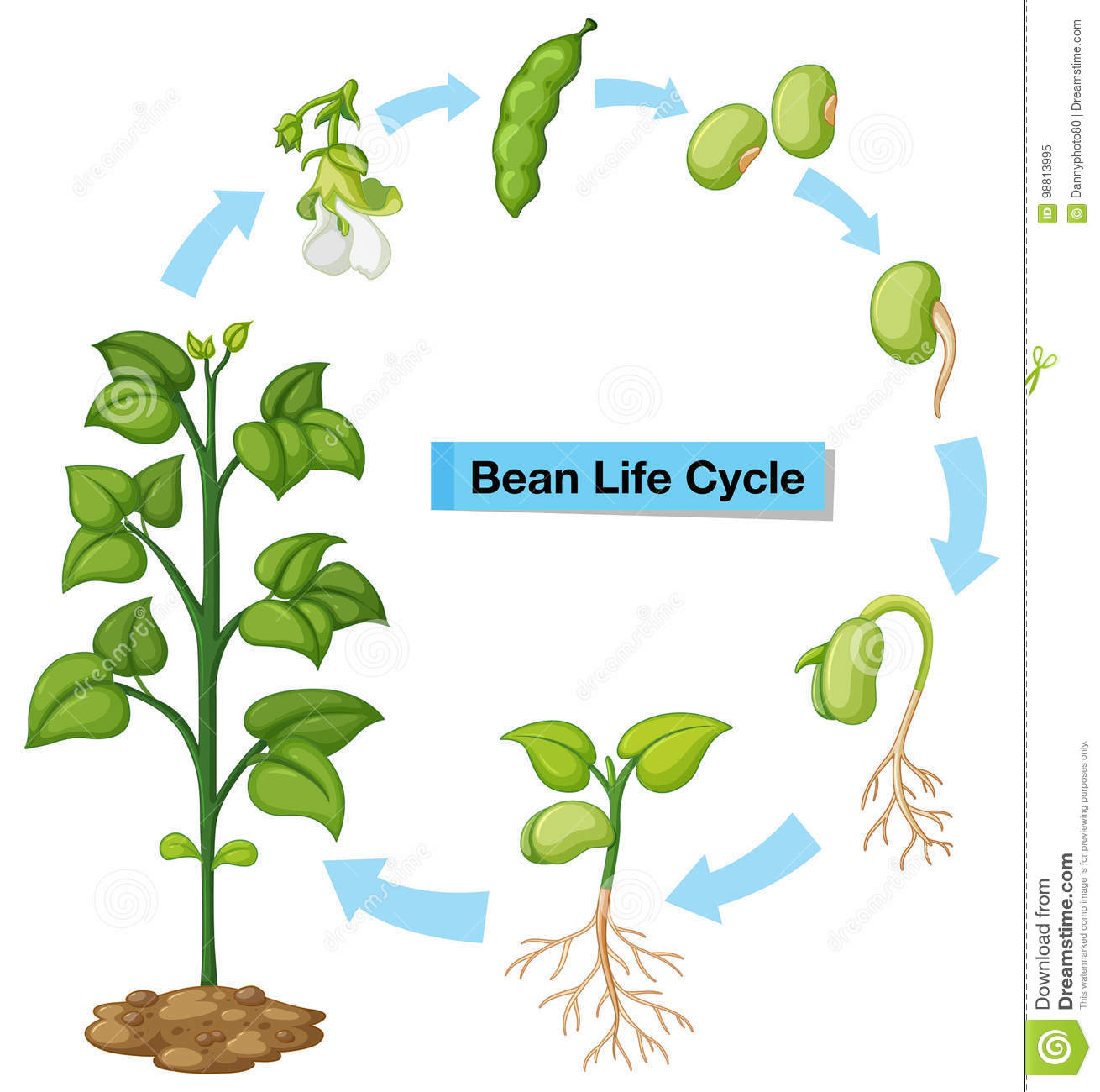 Diagram Showing Bean Life Cycle Stock Vector