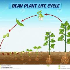 Bean Seedling Diagram 1966 Mustang Ab Werk Showing Plant Life Cycle Stock Vector