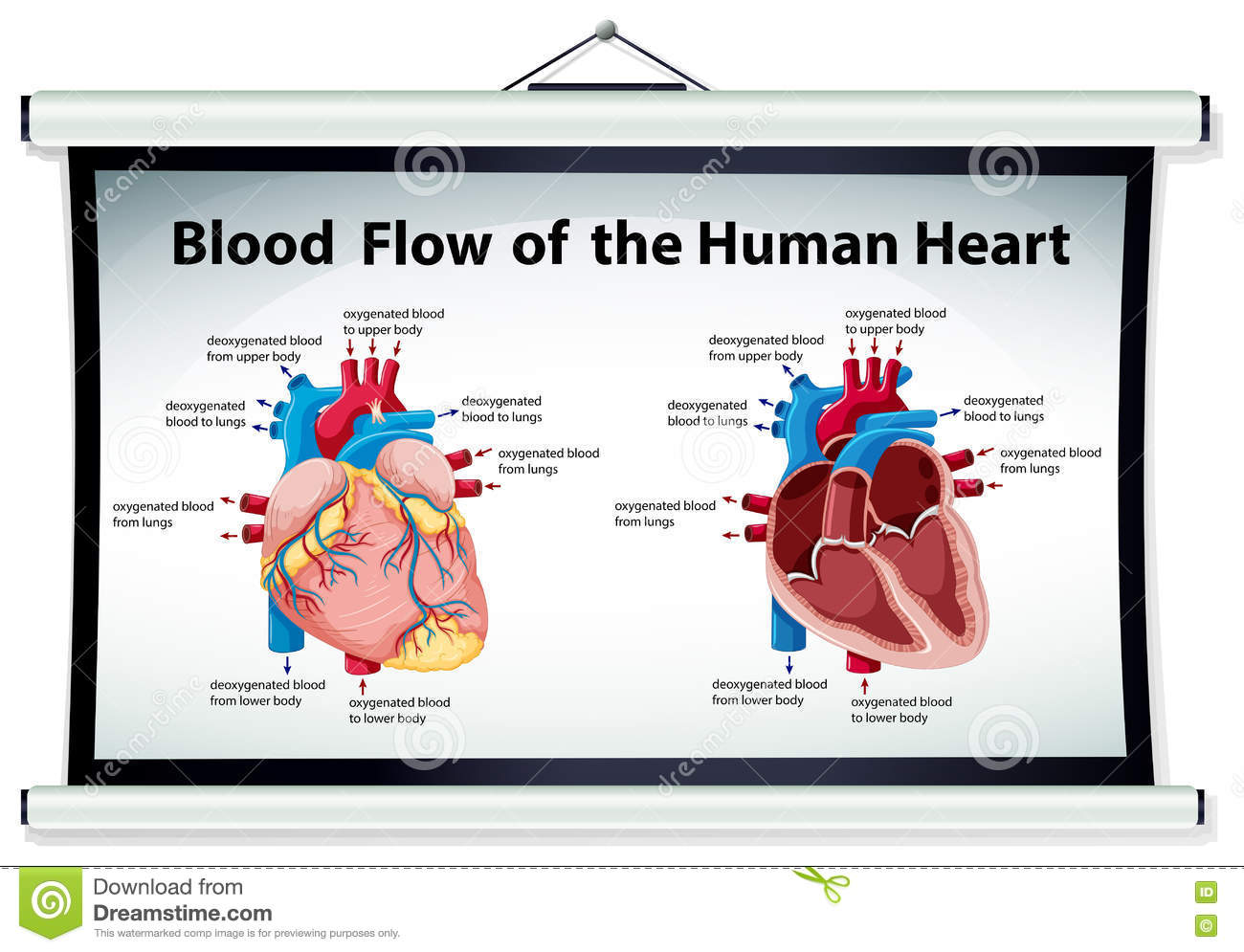 hight resolution of diagram showing blood flow in human heart