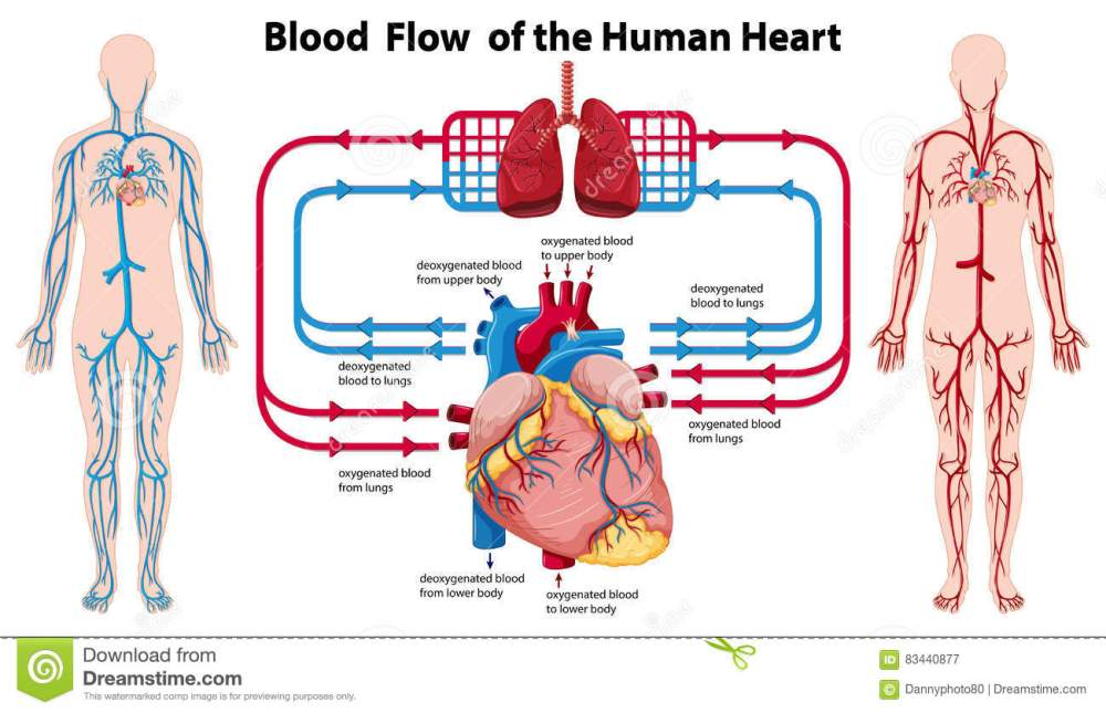 medium resolution of diagram showing blood flow of the human heart