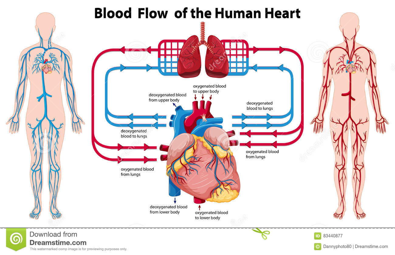 hight resolution of diagram showing blood flow of the human heart