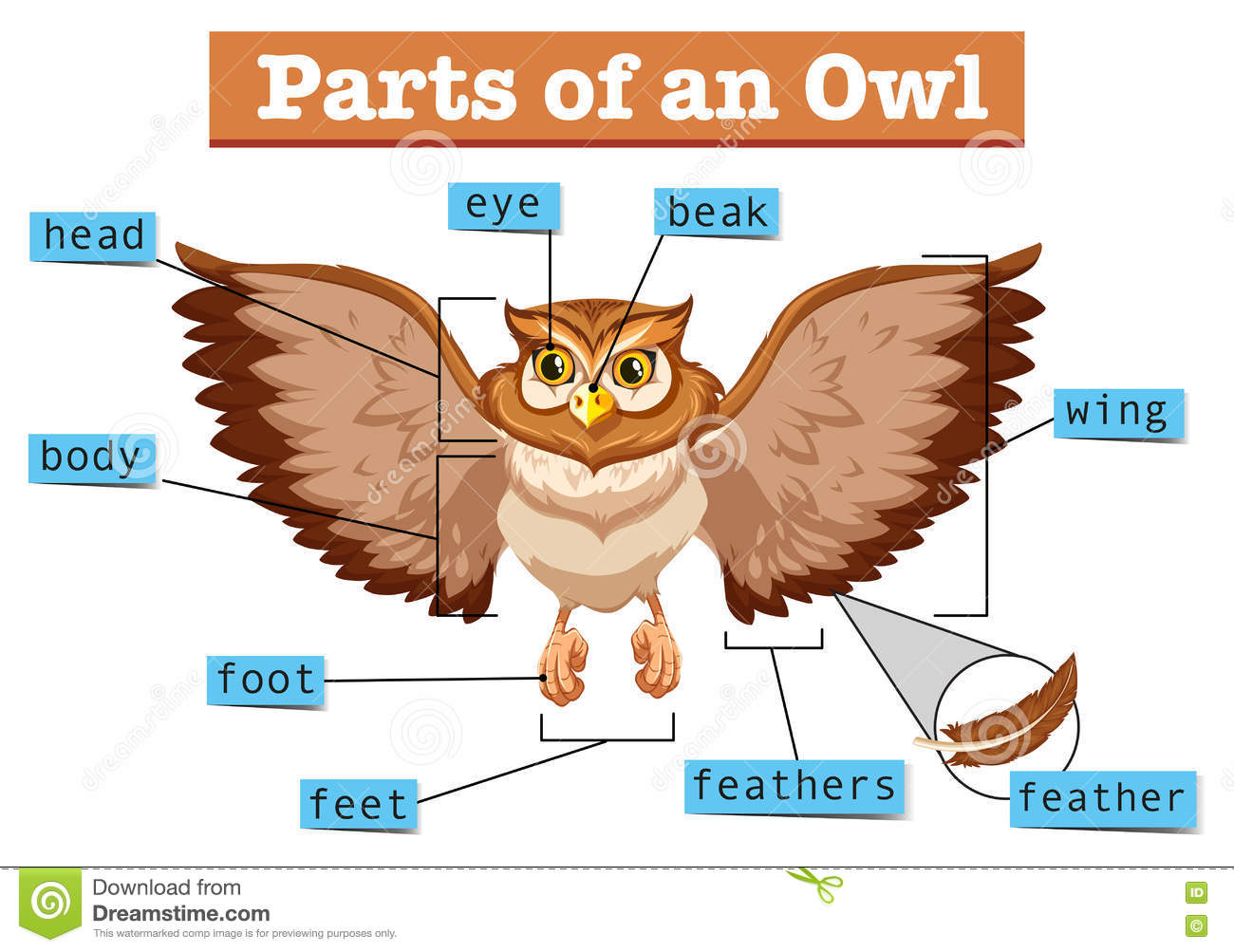 Diagram Showing Different Part Of Owl Stock Vector