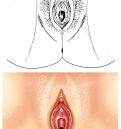 diagram showing female vagina [ 929 x 1300 Pixel ]