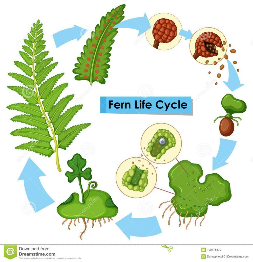 medium resolution of diagram showing fern life cycle