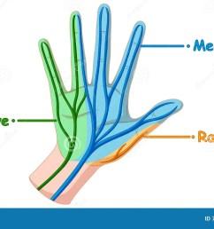 diagram showing hand nerve [ 1300 x 819 Pixel ]