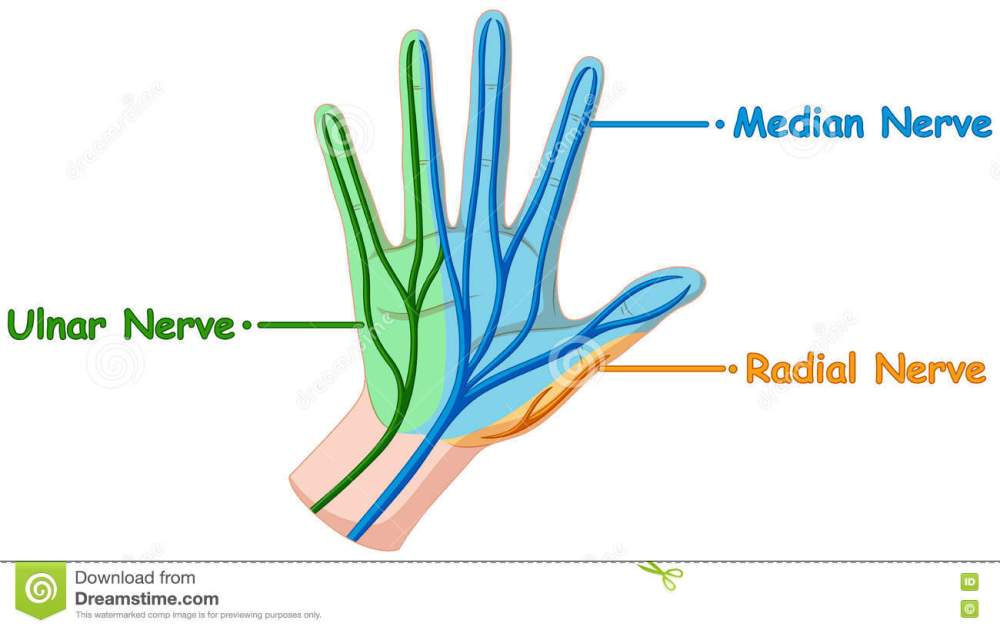 medium resolution of diagram showing hand nerve