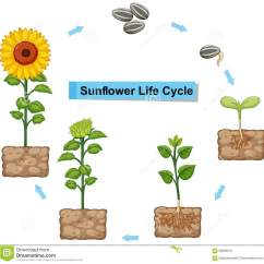 Sunflower Plant Life Cycle Diagram Dodge Ram Trailer Wiring Showing Of Stock Vector Illustration