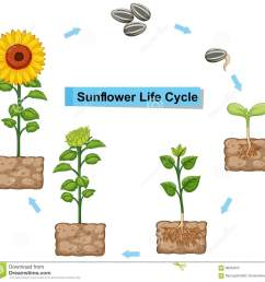 diagram showing life cycle of sunflower [ 1300 x 1261 Pixel ]