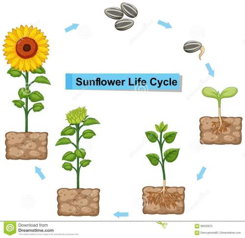 small resolution of diagram showing life cycle of sunflower