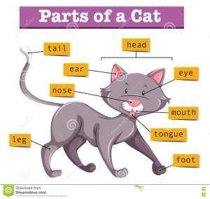 Diagram Showing Parts Of Cat Stock Vector  Image: 75150929