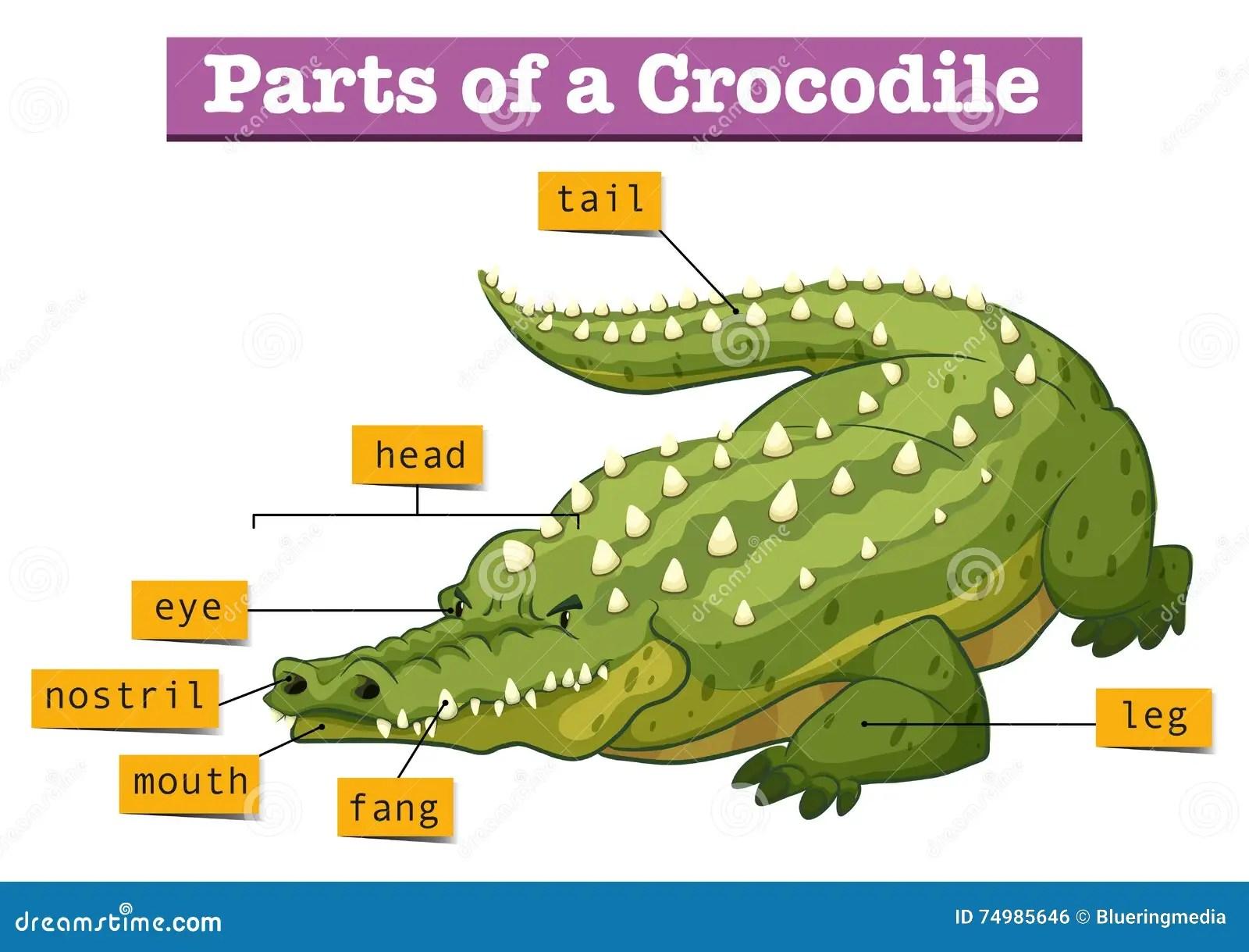 alligator food chain diagram unlabeled flower crocodile related keywords